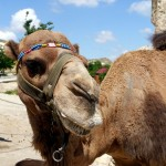 A real camel