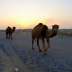 CAMELS!  WILD CAMELS!