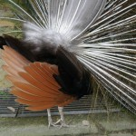 Peacock bum