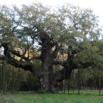 The Major Oak, Sherwood Forest.