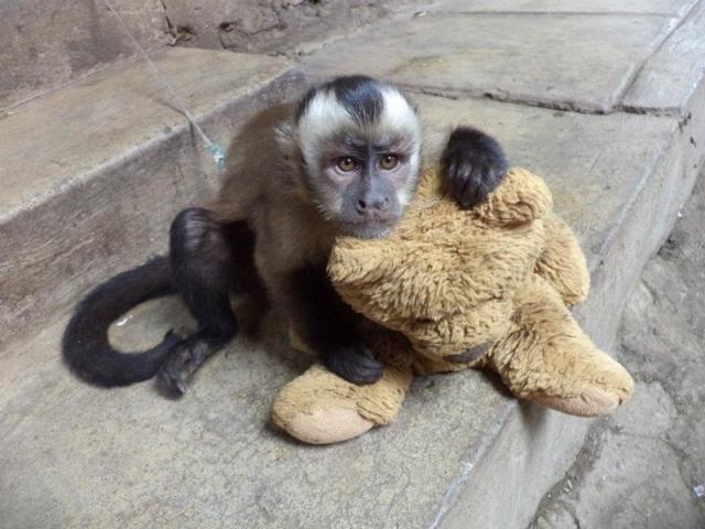 Monkey in Peru