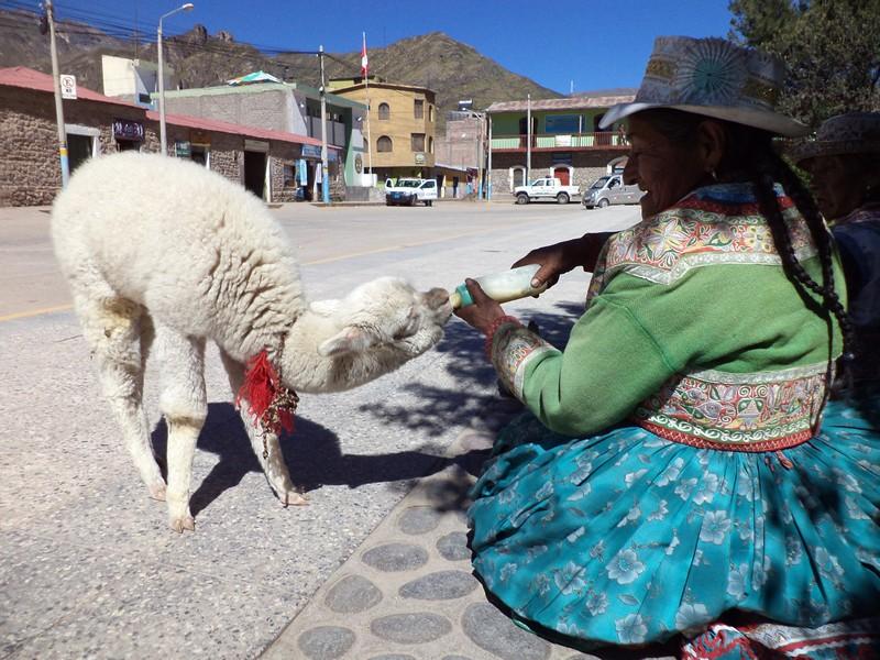 A Bolivian woman hand feeds an alpaca