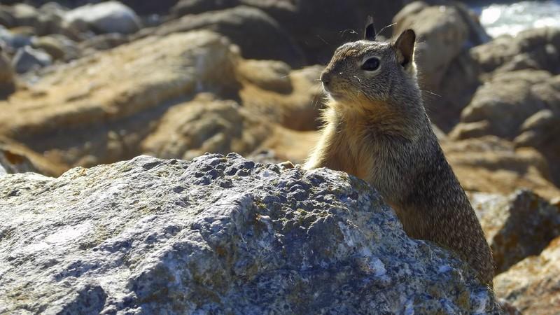 A squirrel over a rock