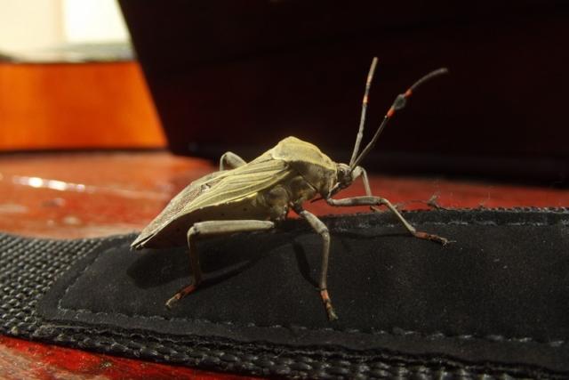 A large bug on my camera strap, Nicaragua