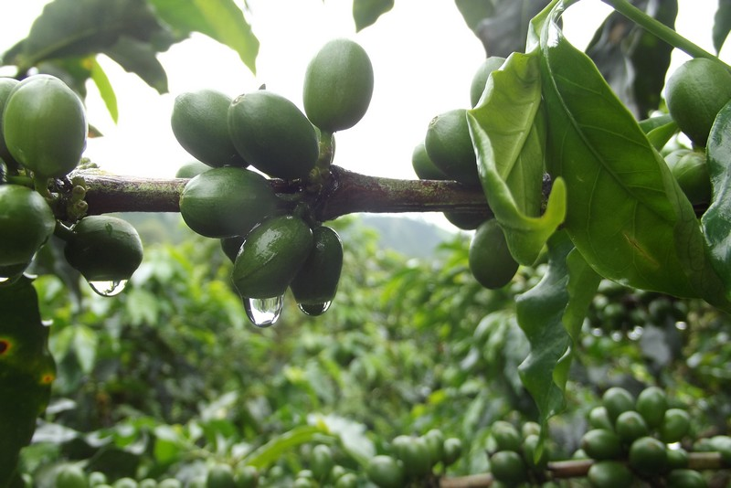 Exploring the coffee plantations of Manizales, Colombia