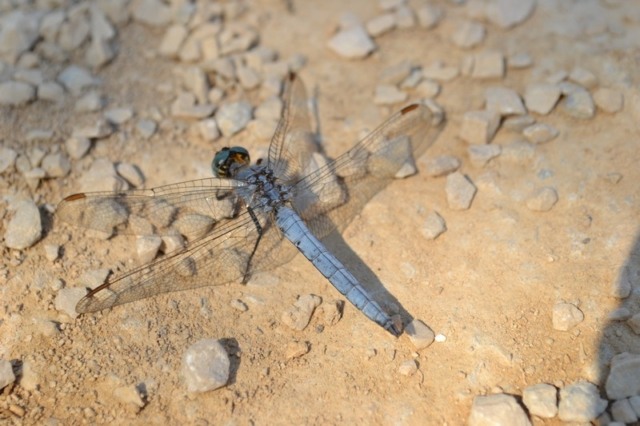 A  blue dragonfly in the dirt